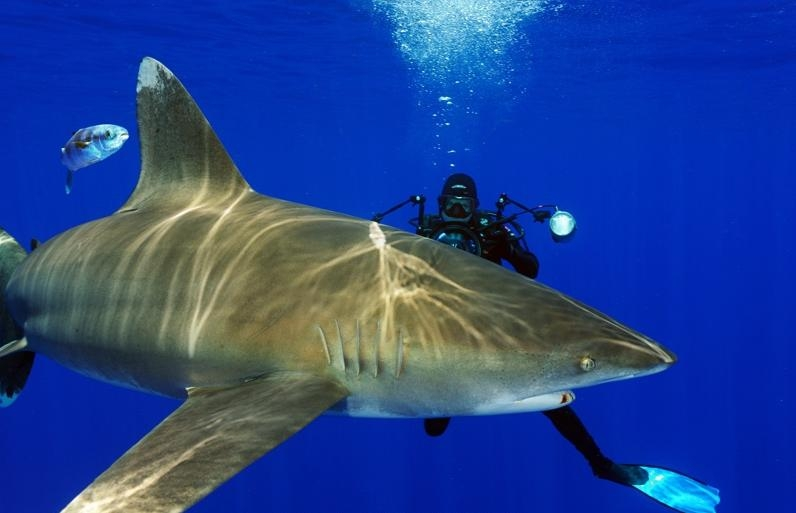 tiburon punta blanca