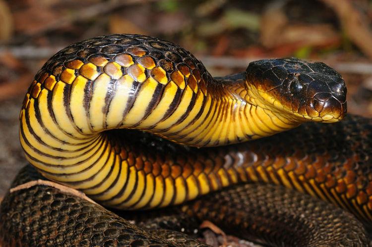 La Serpiente Tigre