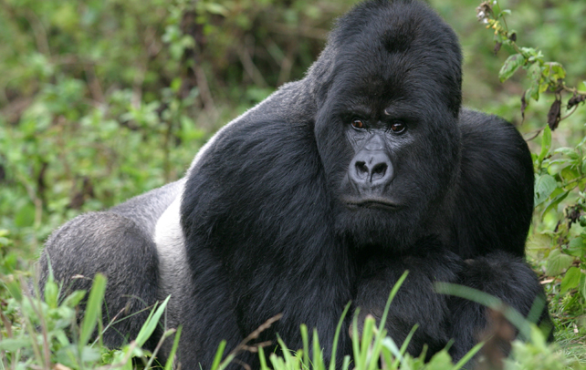 fotos-de-gorilas