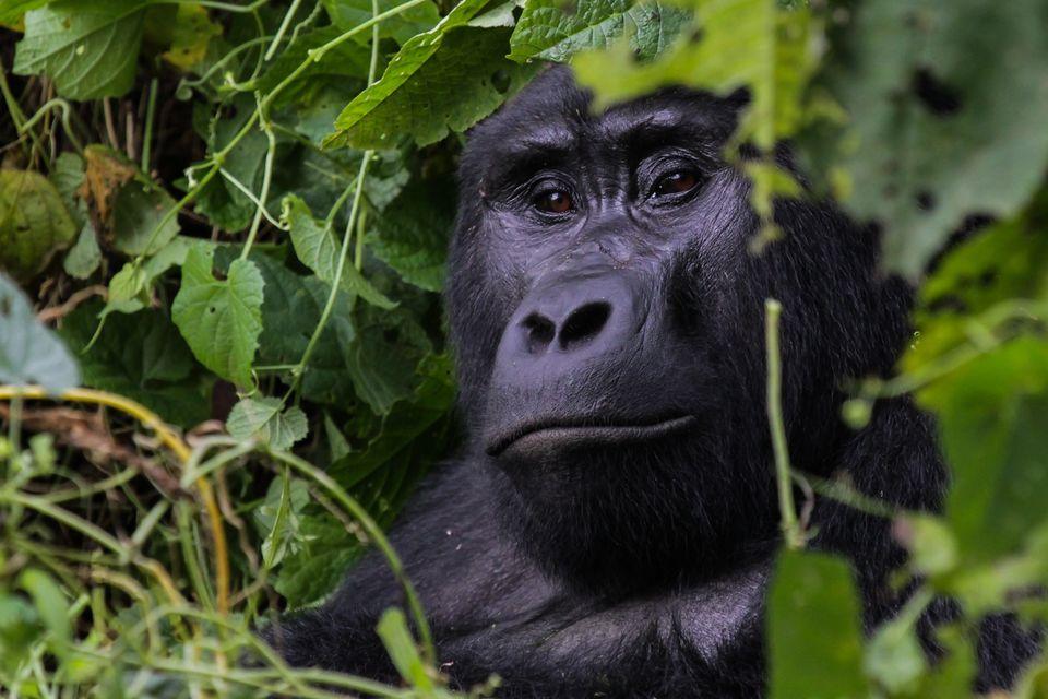 gorila-de-montana
