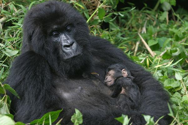 imagenes-de-gorilas