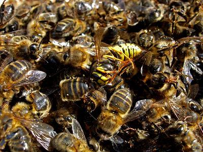 abejas guerra