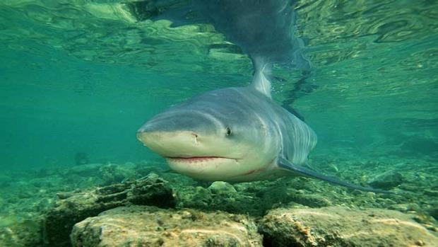 tiburon toro