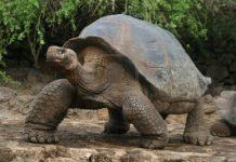 Tortugas Gigantes