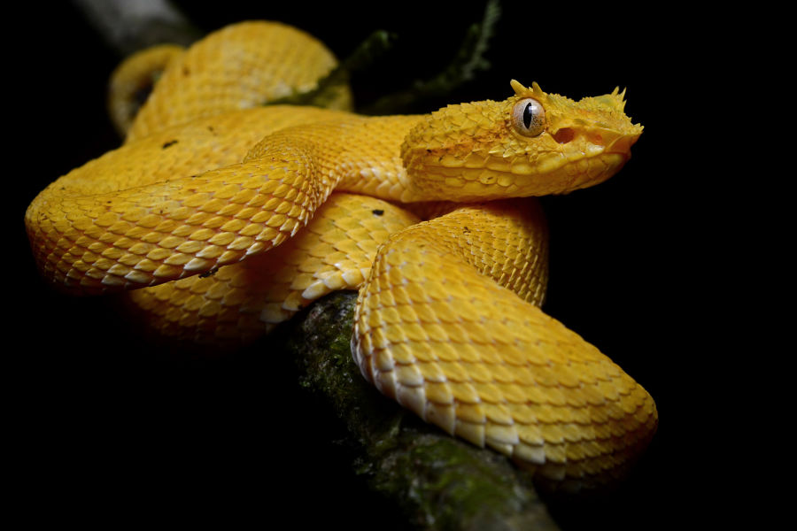 3 Inland taipan  Snake! 15 deadliest serpents  Pictures