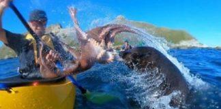 ataque de foca