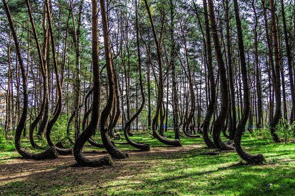 el misterioso bosque torcido de polonia