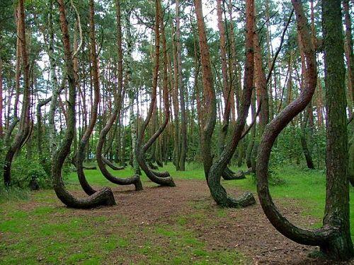el bosque de los árboles torcidos en polonia