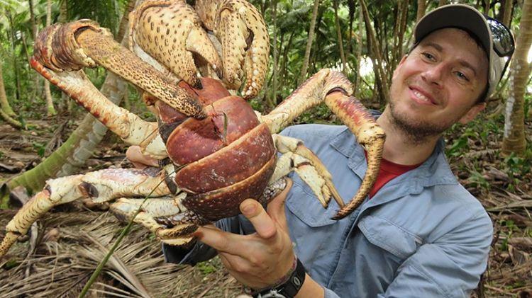 cangrejo cocotero ataca