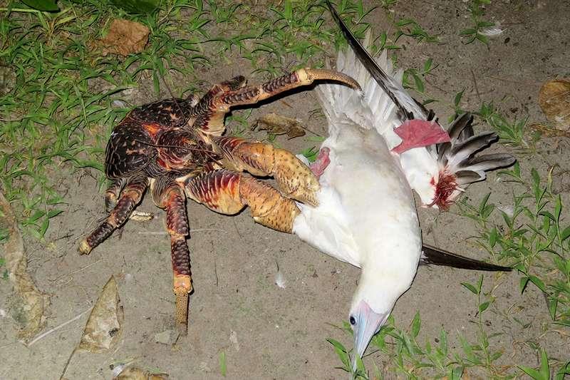 cangrejo cocotero gigante