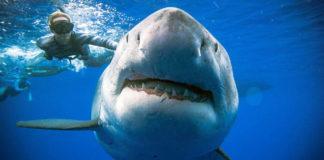 Tiburón Blanco más Grande del Mundo