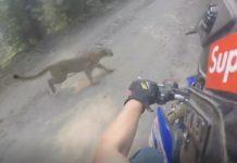 puma y motociclista