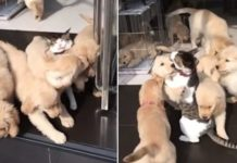 Cachorros de Perro contra un Gato
