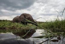 Ataque de Elefante
