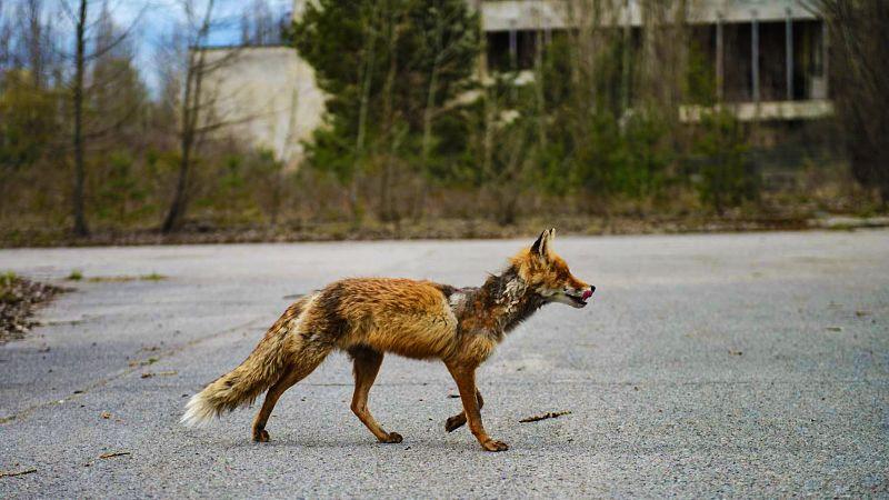 animales de chernobyl así son las criaturas sobrevivientes a la radiación