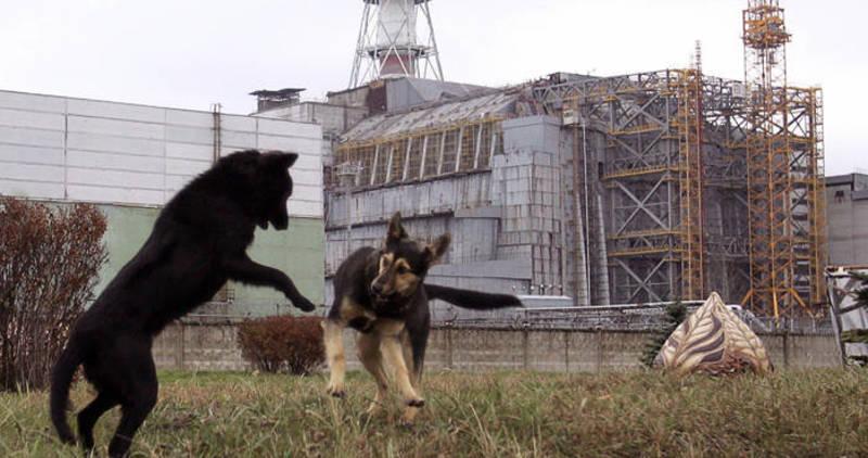 consecuencias en animales de chernobyl