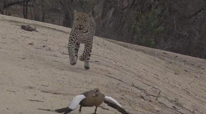 leopardo y ganso