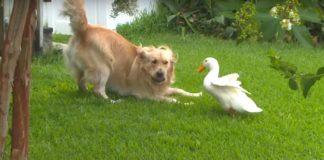 Amistad de un Perro y un Pato