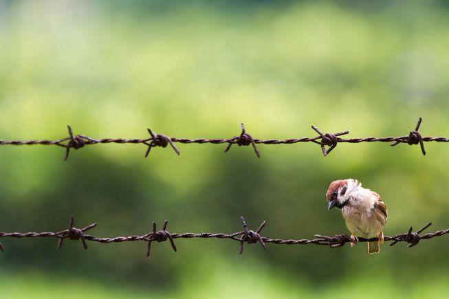 extincion gorrion en china