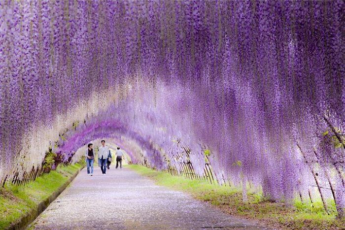 tunel de wisteria japon