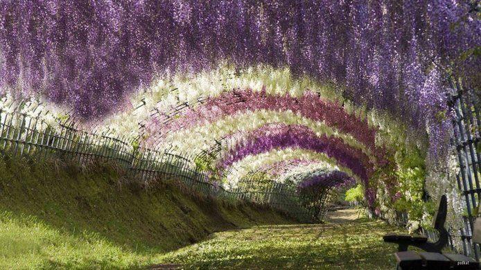 túnel de flores wisteria en japón
