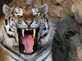 ataque de tigre