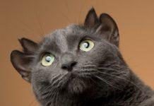 yoda, gato con cuatro orejas