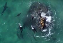 focas atacando tiburones blancos