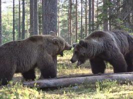 pelea de osos
