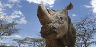 rinoceronte ataca un jeep