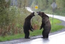 Osos Grizzly Peleando en una Carretera