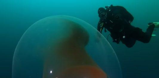 huevos de calamar gigante
