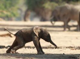 primeros pasos de un elefante