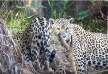 Jaguares contra nutrias gigantes