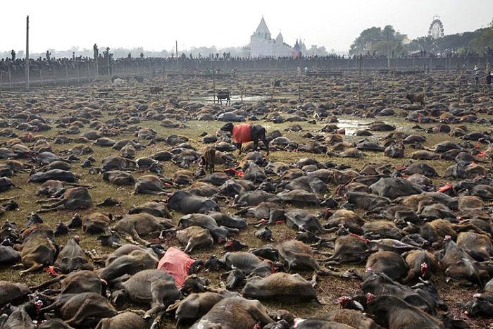 masacre de animales en nepal