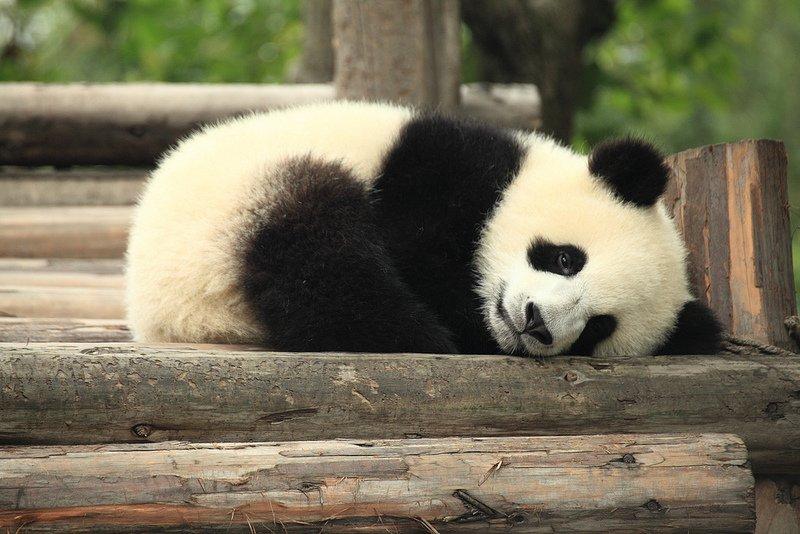 donde vive el oso panda