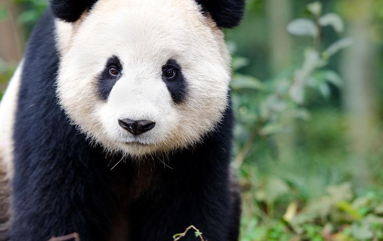 importancia del oso panda