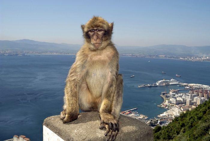 macaco de berberia