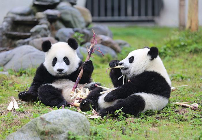población de los pandas