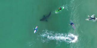 tiburón blanco nadando entre surfistas