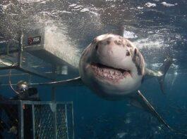 submarinista y tiburon blanco