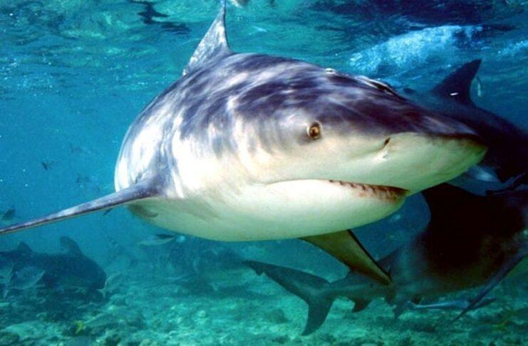 tiburón toro vs hipopótamos