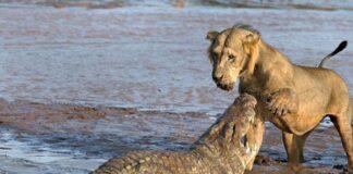 Cocodrilo ataca a un León