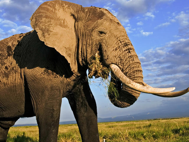 Curiosidades que no sabías sobre los elefantes
