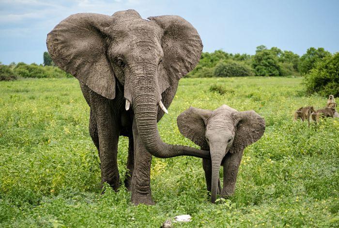 cosas que no sabías sobre los elefantes