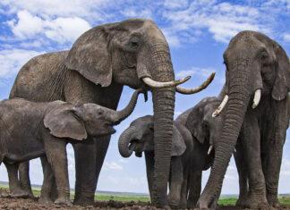 datos sorprendentes sobre los elefantes